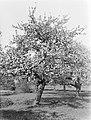 Bloeiende fruitboom in de Betuwe, Bestanddeelnr 189-1388.jpg