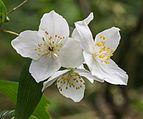Bloemen van de Boerenjasmijn (Philadelphus microphyllus). Locatie, Tuinreservaat Jonkervallei 03.jpg