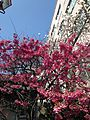 Blossoms near Kagoshima Central Community Center.jpg