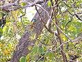 Blue-bearded Bee-eater - Nyctyornis athertoni - Apr07 130.jpg