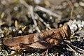 Blue-winged Grasshopper - Oedipoda caerulescens (20854231939).jpg