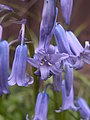 Bluebells, 2020-05-05, Beechview, 04.jpg