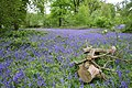Bluebells in Neville Wood - geograph.org.uk - 424946.jpg