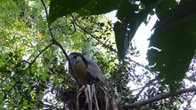 File:Boat billed Heron at Lowry Park Zoo by Lee.webm