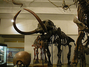 UW–Madison Geology Museum - The Boaz mastodon in the vertebrate fossil room