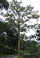 Bombax ceiba tree.jpg
