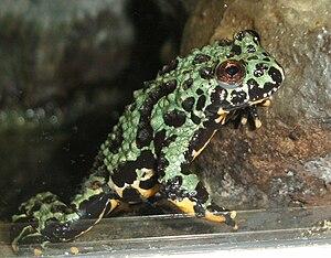 Oriental Fire Bellied Toad Wikipedia