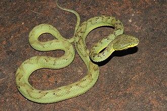 Trimeresurus - Bamboo pit viper, T. gramineus
