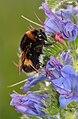 Bombus lucorum queen - Echium vulgare - Keila.jpg
