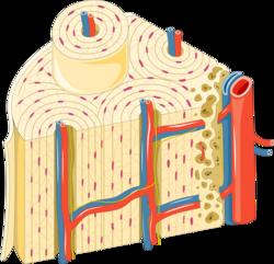 Bone unit - Osteon 1 -- Smart-Servier.png