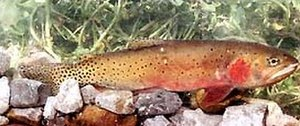 Bonneville cutthroat trout - Image: Bonneville cutthroat