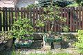 Bonsai - carpinus betulus.jpg