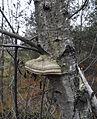 Borkovická blata - Březovník obecný (Piptoporus betulinus).jpg