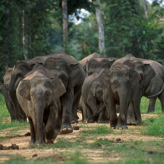 Female elephants live in stable groups, along with their offspring. Borneo elephants.png