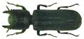 Bostrychoplites cornutus (Olivier, 1790) (8207538613).png