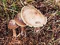 Botercollybia zwam. (Rhodocollybia butyracea) Locatie, Hortus (Haren, Groningen) 02.jpg