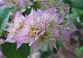 Bougainvillea light rose flower closeup.jpg