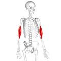 Brachialis muscle07.png