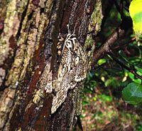 Brahmaea japonica.jpg