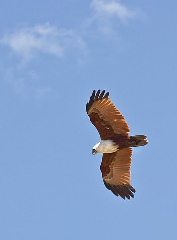 Brahminy Kite over Southport Broadwater-1 (6207128002).jpg