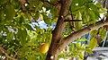 Branche de Citron Japonais.jpg