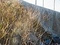 Brassica nigra - black mustard - Flickr - Matt Lavin.jpg