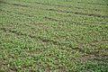 Brassica rapa - Toria Panchali TWC-3 - Murshidabad 2014-11-29 0230.JPG