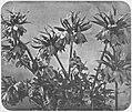 Braun, Adolphe - Blumen (2) (Zeno Fotografie).jpg