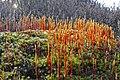 Bristly Haircap Moss (Polytrichum piliferum) (8693211082).jpg