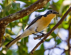 Broad Billed Flycatcher with caterpillar.jpg