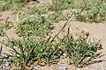 Bromus catharticus - Flickr - aspidoscelis (2).jpg