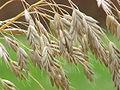 Bromus secalinus1.jpg