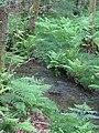Brook in ferns - June 2012 - panoramio.jpg