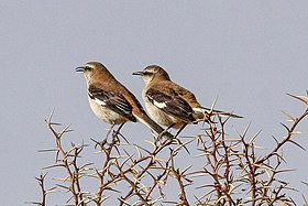 Brown-backed Mockingbird (Mimus dorsalis) (8077607184).jpg