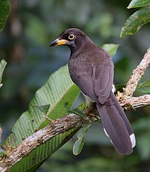 Brown Jay (25059691211).jpg