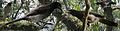 Brown Jay From The Crossley ID Guide Eastern Birds.jpg