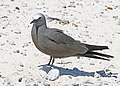 Brown Noddy JCB.jpg