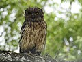 Brown fish owl Ketupa zeylonensis 01.jpg