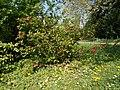 Budai Arborétum. Felső kert. Japánbirs (Chaenomeles japonica). - Budapest XI. kerület.JPG