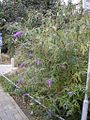BuddlejaDavidii-shrub-hr.jpg