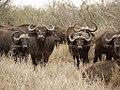 Buffels (6290937984).jpg