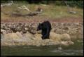 Buiobuione british columbia bear 1.tif