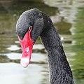 Bulgaria Black Swan 01.jpg