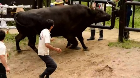 File:Bullfighting in Yamakoshi, Nagaoka 2.webm