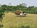 Bullock Cart (গোরুর গাড়ি), Rural Bengal 2.jpg