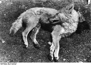 Tibetan wolf - A Tibetan wolf killed during the 1938 German expedition into Tibet. Note the proportionately short legs.