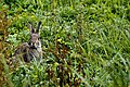 Bunny - Summer Leys (34812046434).jpg