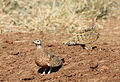 Burchell's sandgrouse, Pterocles burchelli, at Mapungubwe National Park, Limpopo, South Africa (17358153323).jpg