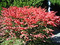 Burning Bush in Autumn foliage.JPG