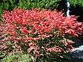 Burning Bush in Autumn foliage.JPG